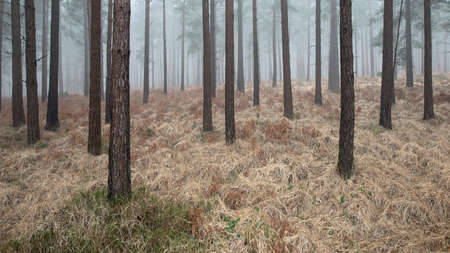 A small patch of grass has survived the winter around the base of a tree within Bratley Inclosure in the New Forest, Hampshire. Dense fog that had filled the forest in the morning is slowly starting to recede revealing the hundreds of conifers in this section of woodland.