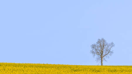 A lone tree standing in a field of yellow rapeseed against a blue sky on the South Downs in Hampshire, England.