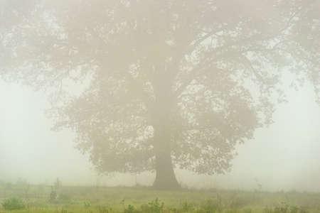 A large old oak tree seen through a veil of mist.