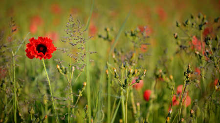 A red poppy growing in a meadow full of wild flowers at dawn, singled out using a shallow depth of field.