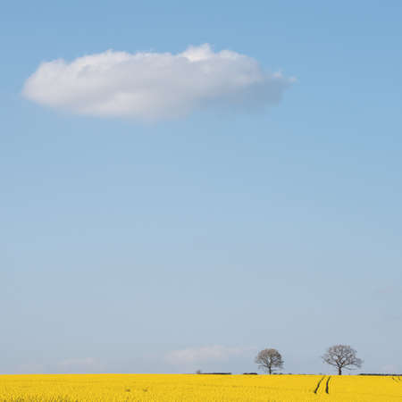 A cloud floats above a field of yellow rapeseed on the South Downs in Hampshire on a bright sunny spring afternoon.