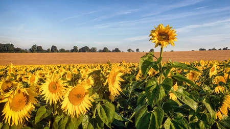 A rogue sunflower growing taller than the rest of the field as they bathe in the early morning sunshine.