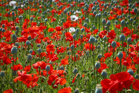 A mixed field of poppies, the Opium poppy crop has mostly lost it's petals leaving the large seed pods ready for harvesting whilst the reds are in full bloom.