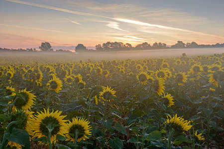 Mist floating across 11 acres of sunflowers in a field at dawn, the heads are facing east waiting for the sun to rise above the trees for the start of a summers day in August.