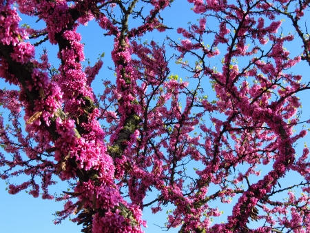 redbud tree: Cercis (redbud) tree in the spring blooming with pink flowers Stock Photo