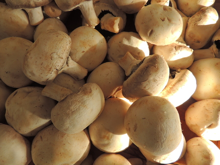 agaricus: Bunch of Agaricus mushrooms in the kitchen