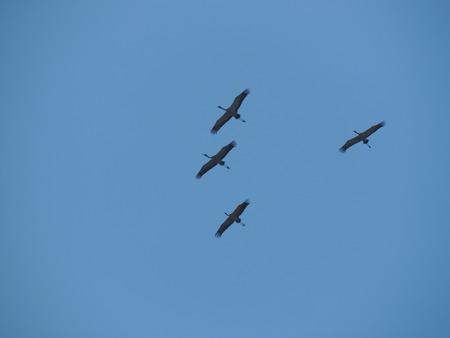gray herons: Four gray herons (Ardea cinerea) in flight Stock Photo