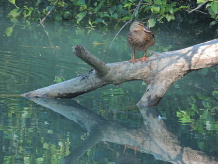 submerged: Duck on the trunk submerged partially in the water