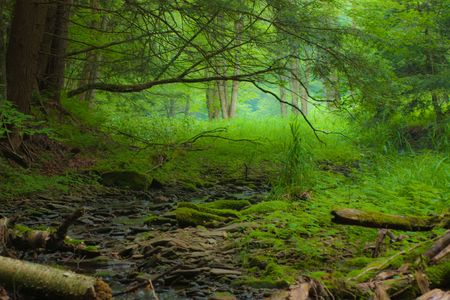 trickling: Lush undergrowth along a trickling mountain stream.