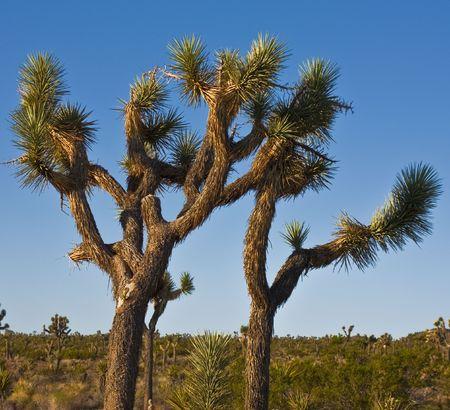 scorching: joshua tree in the desert Stock Photo