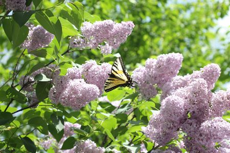 A monarch butterfly settled on a lilac bush Stock Photo - 7743000