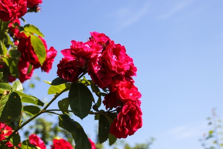 Red roses Stock Photo - 13070579