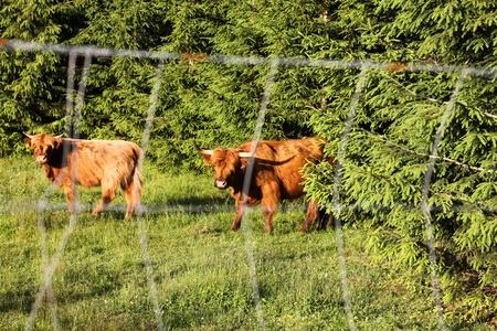 Cows scottish highland behind fence Stock Photo - 13453949