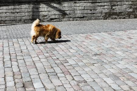 street wise: chow-chow dog Stock Photo