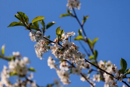 Apple Blossom Stock Photo - 13793921