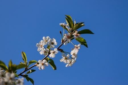 Apple Blossom Stock Photo - 13793939