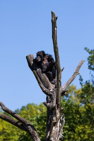 Chimpanzee monkey on a tree over blue sky photo