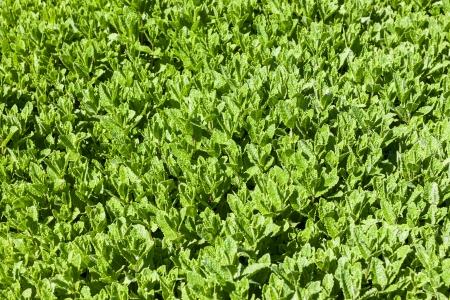 field mint: Mint green field of fresh spearmint