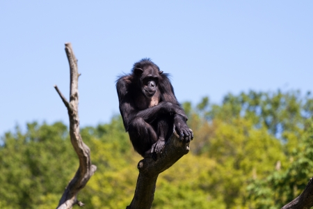 Chimpanzee monkey on a tree photo