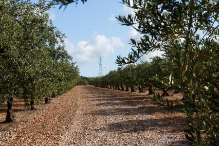 Olive tree orchard near Barcelona Catalonia, Spain Stock Photo - 14316143