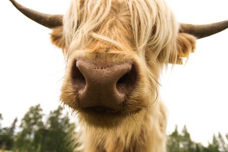 Scottish cow on white background photo