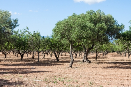 Olive trees orchard in Spain. Summer time Stock Photo - 14784079