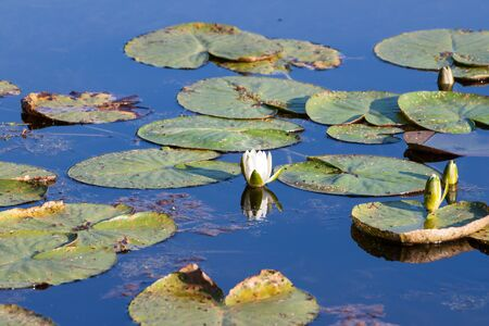 Water Lily on the pond Stock Photo - 14851029