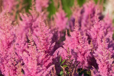 Pink flower Calluna vulgaris known as Common Heather, ling, or simply heather - vertical Stock Photo - 14894437