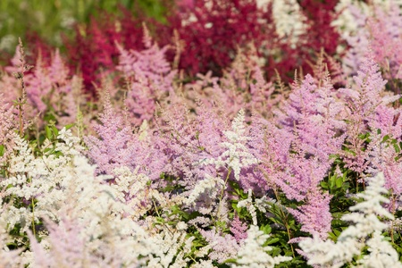 Heather flowers blossom in the garden Stock Photo - 14894454