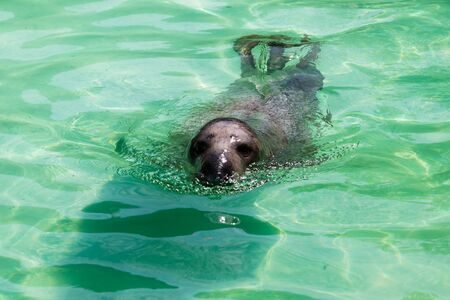 swiming: Cute sea lion in the water