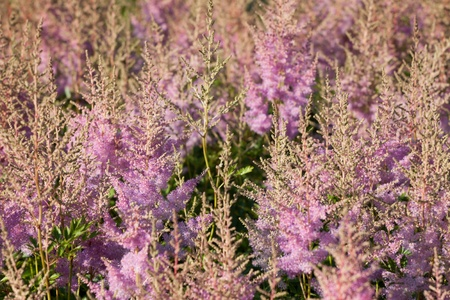 Pink flower Calluna vulgaris known as Common Heather, ling, or simply heather - vertical Stock Photo - 14963921