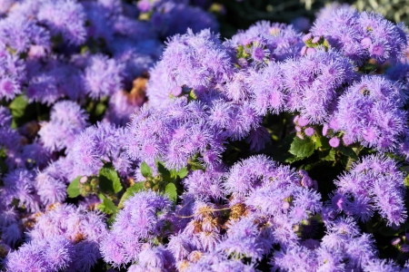 Alchemilla epipsila flower in the garden Stock Photo - 15140833
