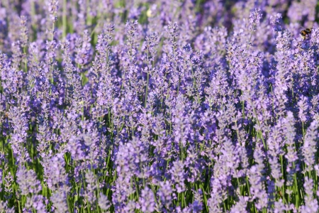 Lavender growing in summer garden closeup with shallow DOF Stock Photo - 15140832