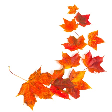 autumn maple leaves over white Stock Photo - 15529180