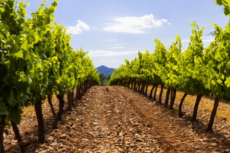 vineyard in spain with beautiful agricultural landscape photo