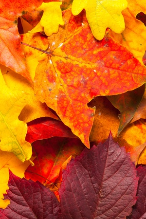 Beautiful autumn maple leaves with copy space for your text Stock Photo - 16126538