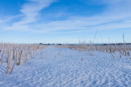 Harvested corn field under snow. Low angle photo