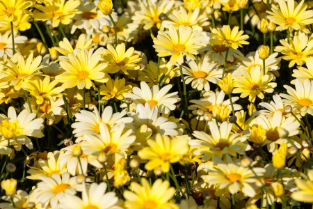 Yellow daisies (Rudbeckia) flower background photo