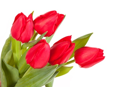 Bunch of red tulips isolated on white background photo