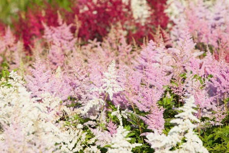 Heather flowers blossom in august park Stock Photo - 19371396
