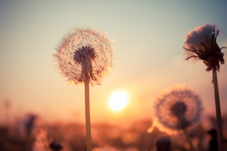 landscape: Real field and dandelion at summer sunset