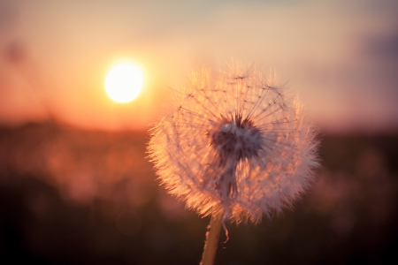 Dandelions in meadow at red summer sunset