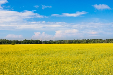 rape seed field with farm house and sky photo
