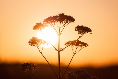 milfoil: Field of milfoil grass during summer sunset - against sun
