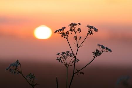 milfoil: Field of milfoil grass during summer sunset