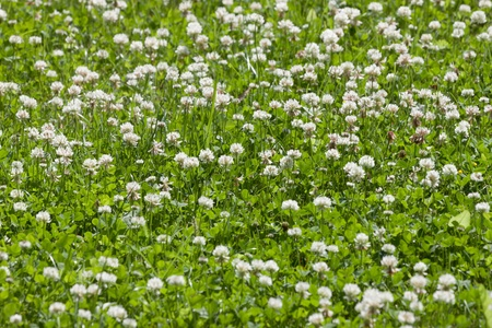 clover green flower field - close up photo