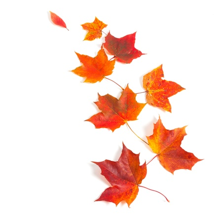 autumn maple leaves over white photo