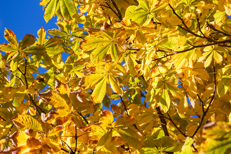 Autumn leaves - chestnut leaves details on tree photo