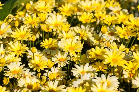 mead: Yellow chamomile daisies flowers field