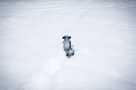 cold weather: Adorable dog pup playing outside in the very deep snow.